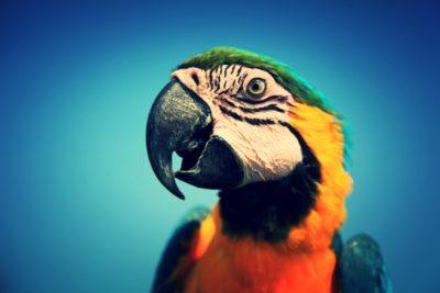 Parrot-Close-Up-Edit