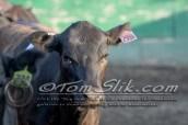 Lynn & Sam Team Cow Sorting 5-18-2016 0087