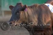 Lynn & Sam Team Cow Sorting 5-18-2016 0112