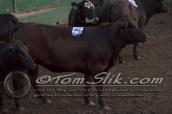 Lynn & Sam Team Cow Sorting 5-18-2016 0207