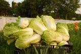 cabbagenewsletter