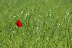 A lone red poppy at Royal Botanic Gardens, Edinburgh.