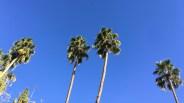Palm trees. Palm Springs.