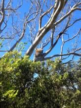 Koala!