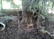 Ja dat is een hert, ongeveer zo groot als een Chiwawa