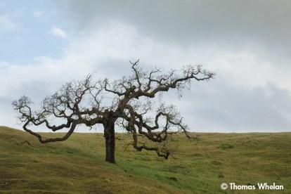 Pasture oak
