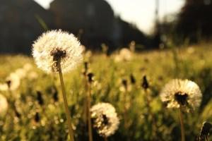Dandelions. CC0 Public Domain license.