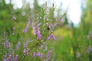 Heather. Picture by Snufkin on Pixabay (CC0 Public Domain license)