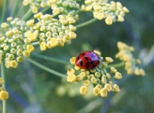 Ladybug on fennel