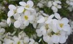 baltos_gėlytės