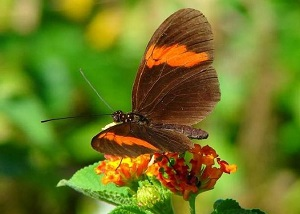 tapti drugeliu