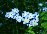 mažos mėlynos gėlytės neužmirštuolės