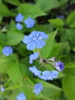 mėlyna Rudenine
