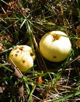 obuoliukai Agnusyte foto