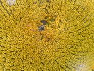 saulėgrąža iš arti Agnusyte2009foto