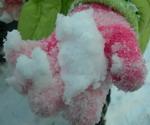 sniegas_rankoje_Agnusyte_foto