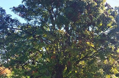 Santa Cruz Ferleaf Ironwood tree