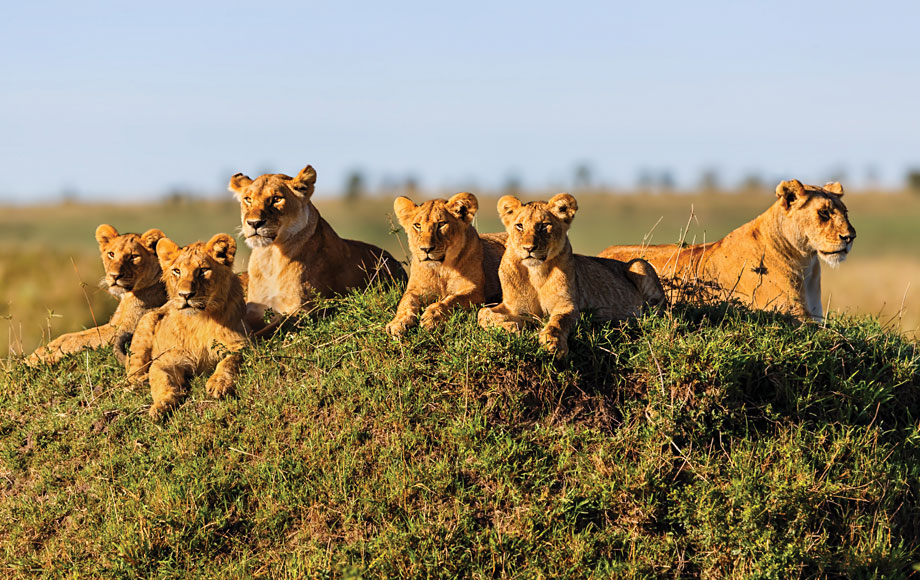 A group of lionesses laying around