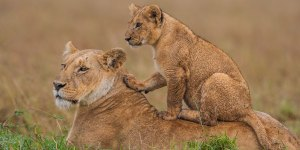 Lioness and cub in Masai Mara