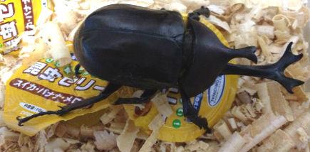 ツノの太いカブトムシ