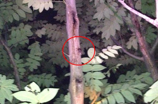 オニグルミの樹液を吸うカブトムシのメス