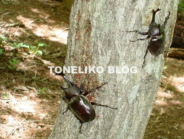 野外の樹液に群がるカブトムシ