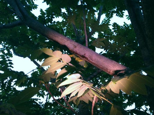オニグルミの樹液