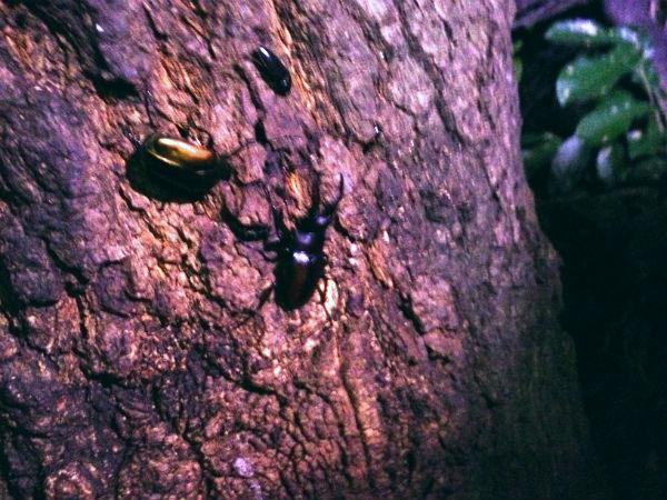 クヌギの樹液を吸うノコギリクワガタのオス