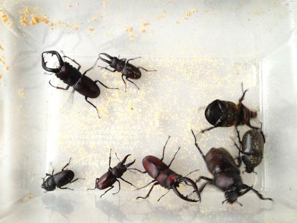 採集成果:カブトムシとノコギリクワガタ