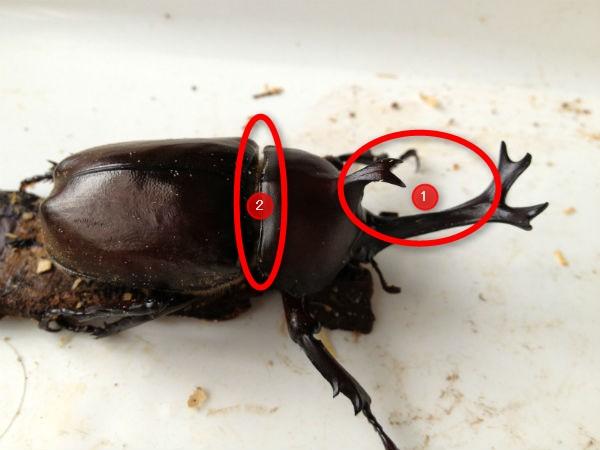 カブトムシの危険箇所2つ