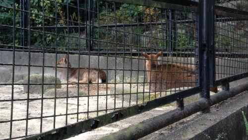 ホンシュウジカ 野辺山動物園