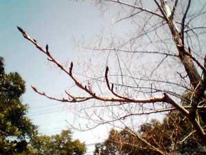 buds_of_cherry_blossoms.jpg