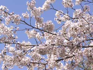 sakuea_in_satsukiyama2.jpg