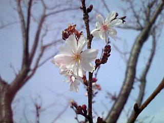 Sakura 20080318