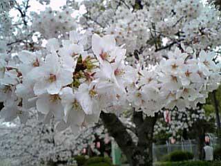 Sakura In Satsukiyama2 2006