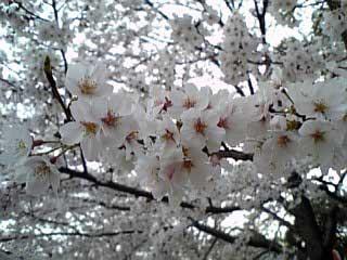 Sakura In Satsukiyama3 2006