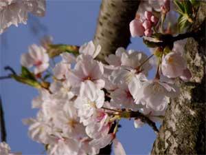 Sakura Of Satsukiyama2005 3