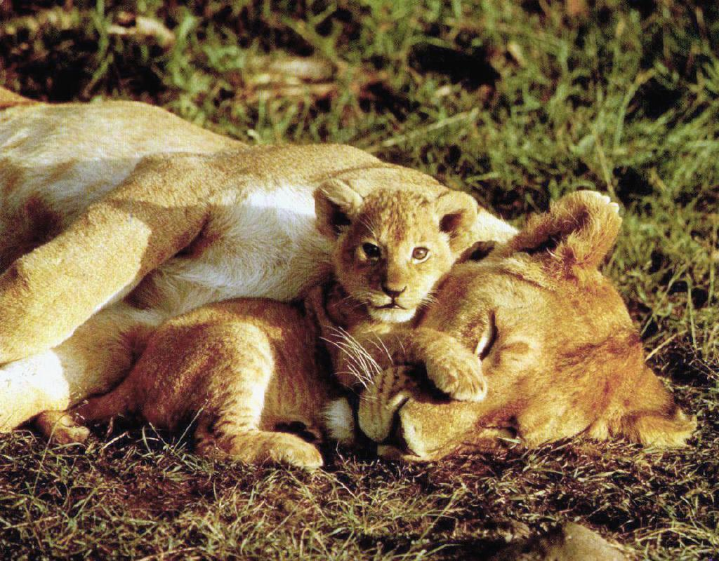 Image result for sleeping baby lion