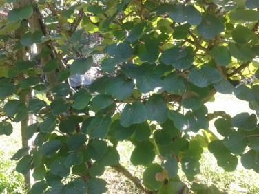 ต้นกีวี่ (หน้าตาเป็นอย่างนี้นี่เอง) ซินยอราบอกว่าผลมันจะยังกินไม่ได้จนกว่าจะปลายปี