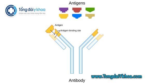 Kháng thể là protein hình chữ Y. Chúng liên kết với các kháng nguyên gây bệnh. Mỗi kháng thể liên kết một kháng nguyên cụ thể. Cả hai khớp với nhau như một cái khóa và chìa khóa.