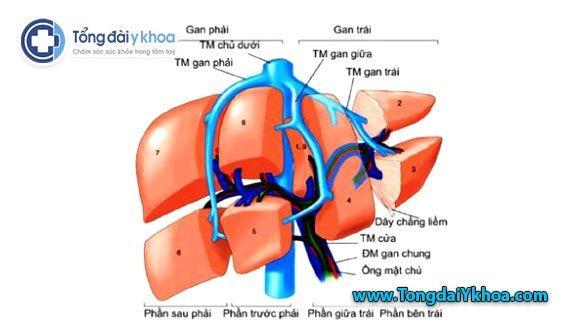 Hình ảnh giải phẫu siêu âm gan thùy trái thùy phải gan