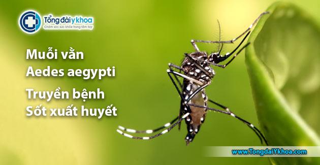 Muỗi vằn Aedes aegypti truyền bệnh sốt huyết