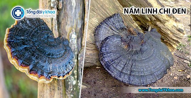 Hình ảnh cây nấm linh chi đen.