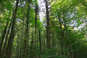 Larch trees in Fforest Fawr