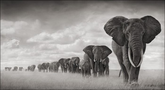 Nick_Brandt_elephants_walking