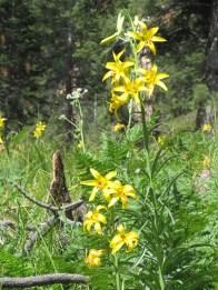 An even more abundant display of lemon lilies