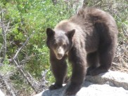 this looked to be the resident bear at a parking lot on the highway