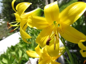 lemon lilies!
