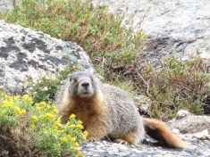 marmots are always posing