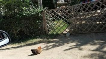 Chicken somewhere